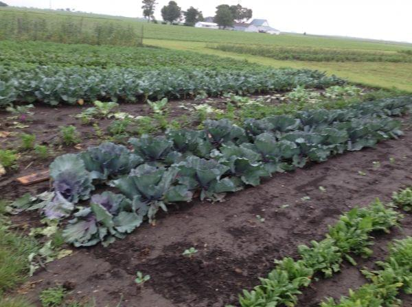 Stoller initially grew Indian Corn, but his plot now also includes beets, parsley carrots.