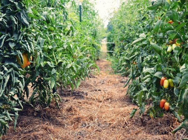 Tomatoes were plentiful this summer.