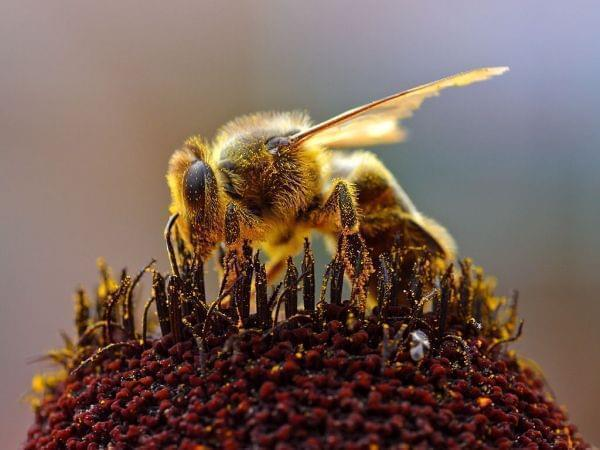A Honey Bee collecting pollen.