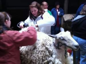Two young women shear a sheep in a barn.