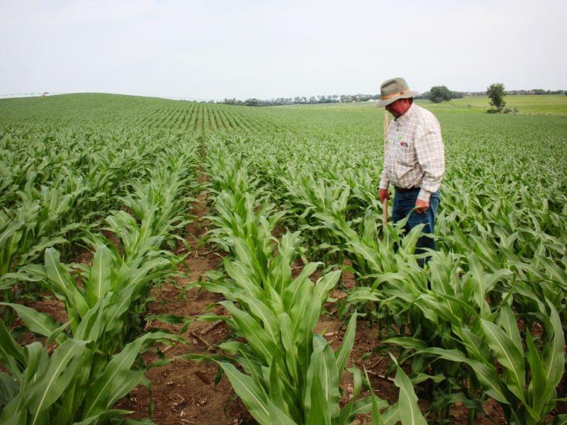 Crop consultant Dan Steiner inspects a field of corn near Norfolk, Nebraska.