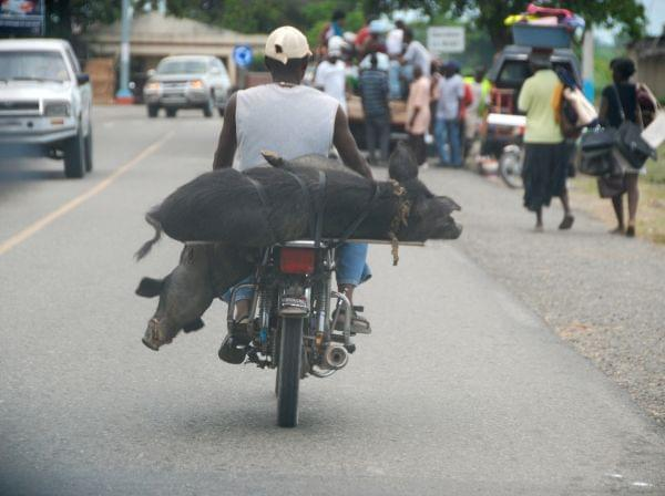 We believe these live pigs were being carried to market strapped to the back of a motorcycle.