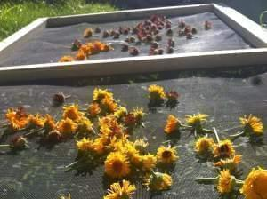 Dozens of flowers heads drying on a screen in the sun.