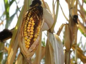 An ear of corn is blackened in the sun and heat Tuesday, Aug. 27, 2013, in Farmingdale, Ill.