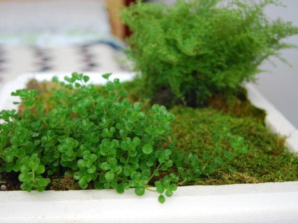 An indoor plant planted inside a Styrofoam cooler lid.