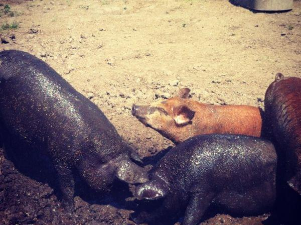Several muddy pigs enjoy the sun