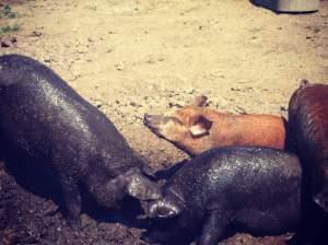 Several muddy pigs enjoy the sun