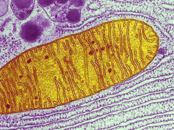 This micrograph shows a single mitochondrion (yellow), one of many little energy factories inside a cell.