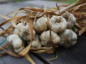 A bunch of dried garlic braided together