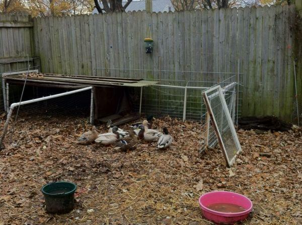 Several ducks in a pen