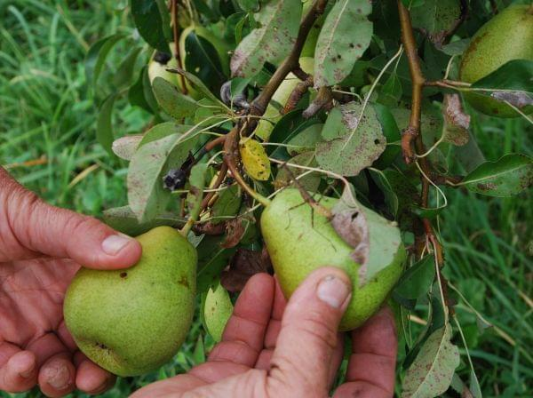 A man's hands displaying pears still on the tree.