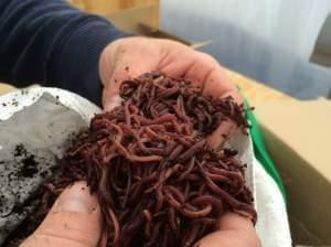 A handful of red wiggler worms.