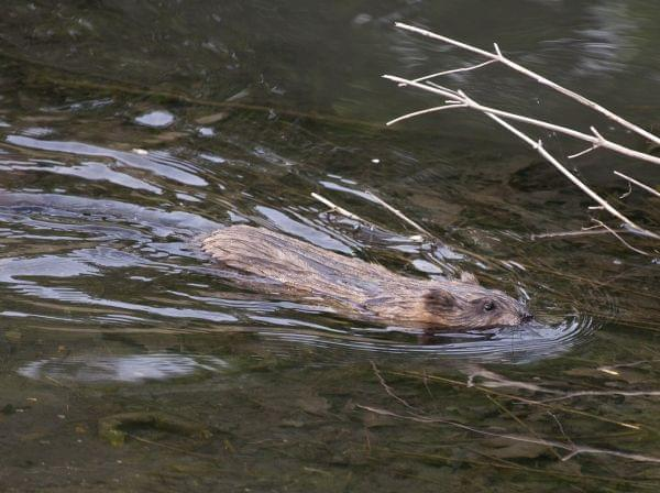 A muskrat swims up a creek.