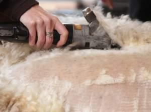 A woman's hand is shown shearing a sheep.