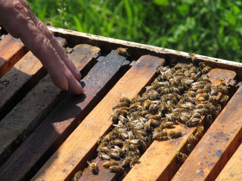 DeKalb County beekeeper Carolyn Hudon surveys one of her bee hives.