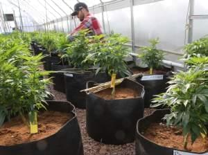 A worker cultivates a special strain of medical marijuana in Colorado Springs.