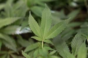 Clone plants at a medical marijuana facility in Oakland, California.