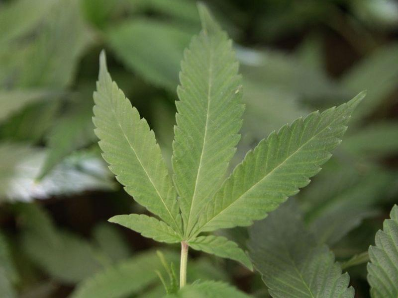 This 2011 file photo shows medical marijuana clone plants at a dispensary in Oakland, California.
