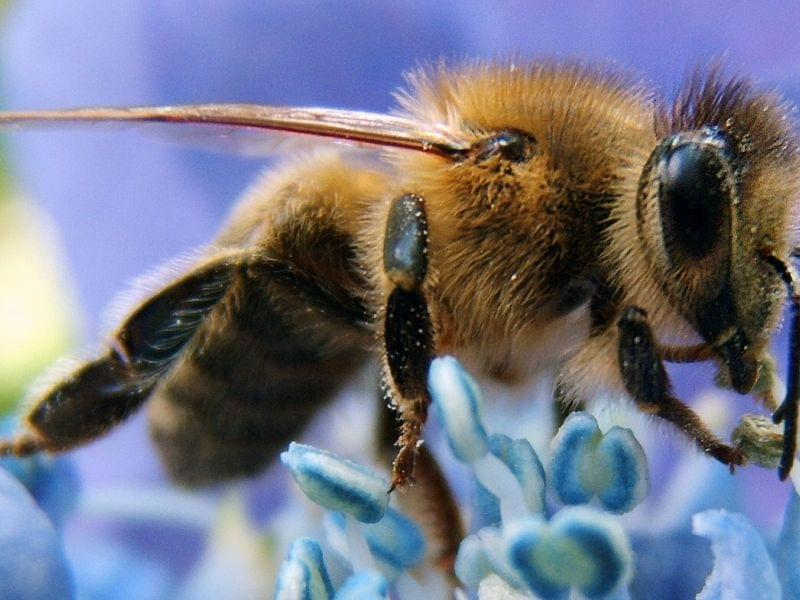 Closeup of a Western Honeybee.
