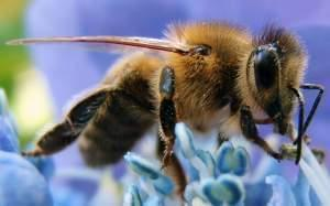 Closeup of a Western Honeybee.