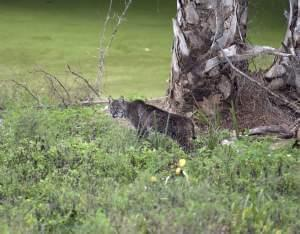bobcat lying down