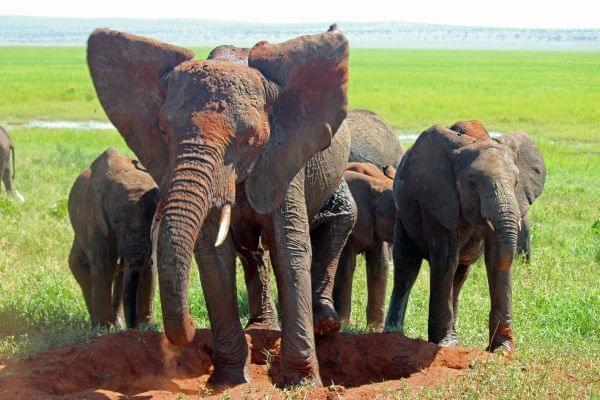 A group of female African Savannah Elephants take a dust bath in Tanzania