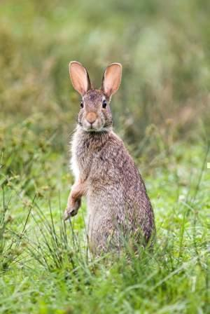 Eastern Cottontail on hind legs in a field