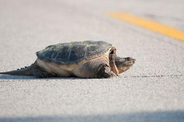 A snapping turtle crosses a road