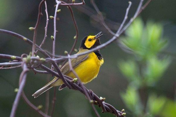 Hooded Warbler singing on a tree branch