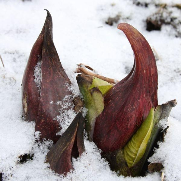 Symplocarpus foetidus, or Skunk Cabbage, growing out of snow