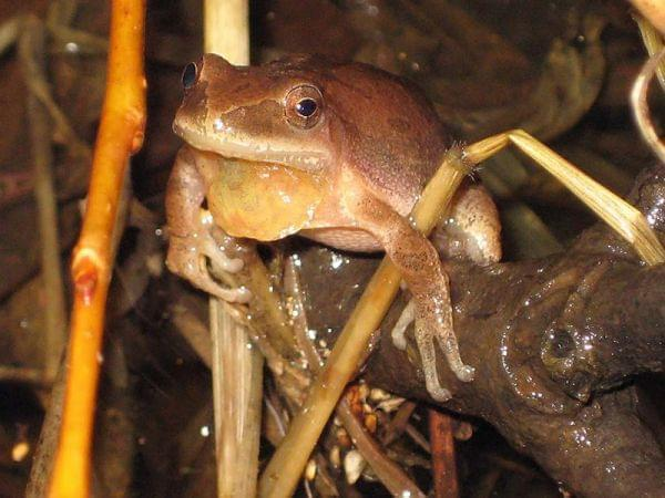 "A frog known as a ""Spring Peeper"" sits on a wet branch"