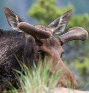 Close-up of a moose in the Rocky Mountains