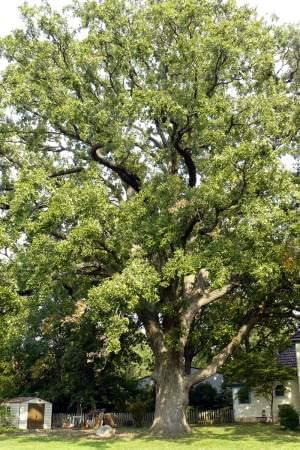 A bicentennial oak, one more than 200 years old