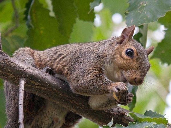 A gray squirrel eats an acorn in a Chinkapin oak tree