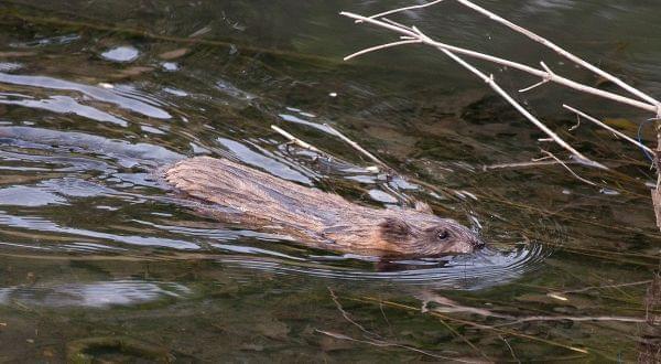 A muskrat swims in a creek