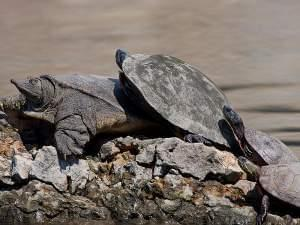 Softshell, Painted Turtle and Red-Eared Sliders sit on rocks at the shore of a pond