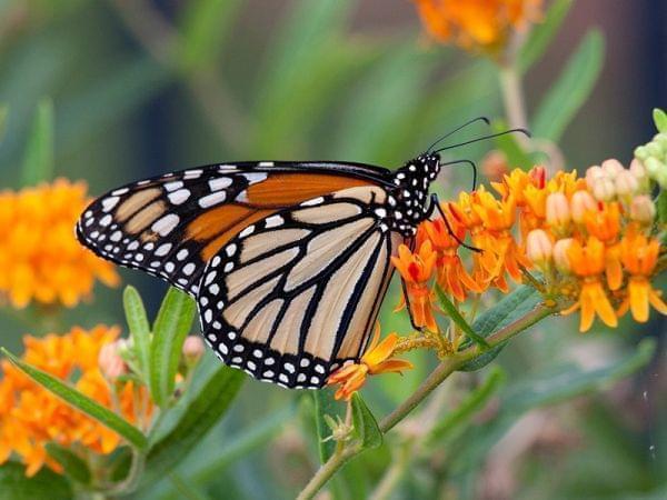 Monarch Butterfly feeding on butterfly milkweed