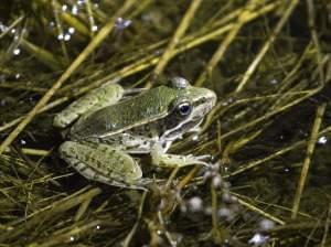A southern leopard frog, small and dull green with a variety of spots, rests on a mat of stems at the edge of a marsh at night, lit by a flashlight.