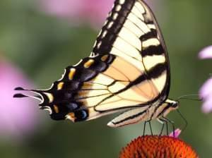 Brightly lit close-up lateral view of tiger swallowtail butterfly, wings folded above body. Underside of wing is pale yellow with black border and black tiger stripes.