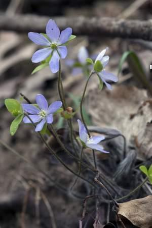 Sharp-lobed hepatica woodland flower