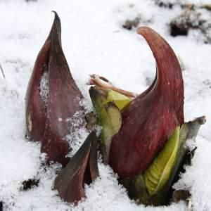 A Skunk Cabbage grows out of the snow