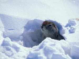 An Arctic ground squirrel peeks out from its burrow under the snow