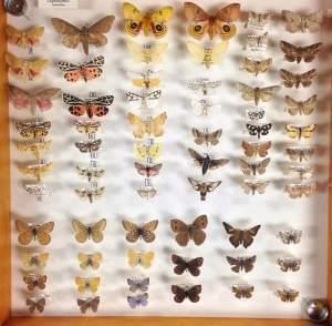 A case from the James Fry insect collection, containing familiar moths and butterflies