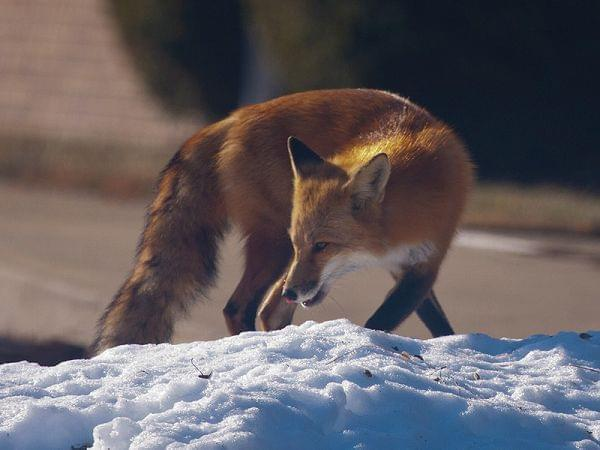 A red fox on a snowpile