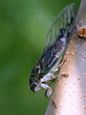 A cicada on a tree trunk