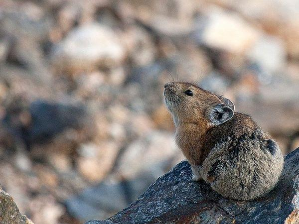 A pika, a small cold-climate mammal, looks up from a perch on a rock