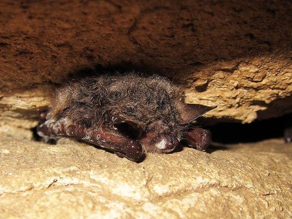 A bat showing the patches of fungus distinctive of white-nose syndrome