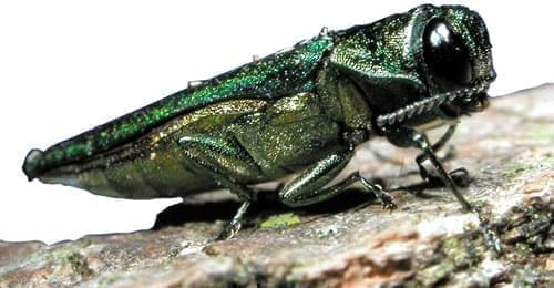 A close-up photo of the emerald ash borer