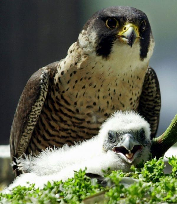 A peregrine falcon takes a protective stance over one of her two chicks on the balcony of a 25th floor apartment on Chicago's Michigan Ave., May 14, 2002. Eleven pairs of wild breeding peregrines live in Illinois in 2003, and are among the anima