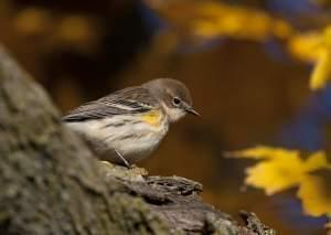 Tight profile shot of a songbird, light below and gray above, with a patch of yellow on its shoulder. Blurred background of orange and yellow maple leaves.